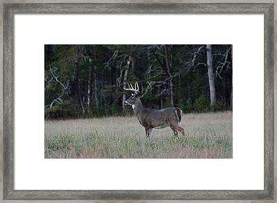 Whitetail Buck 1 Framed Print