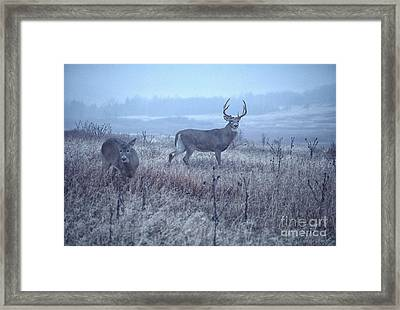 Whitetail Buck And Doe Misty Day Framed Print by Thomas R Fletcher