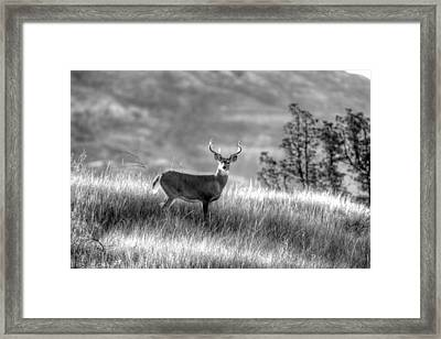 Framed Print featuring the photograph Whitetail Buck B/w by Kevin Bone