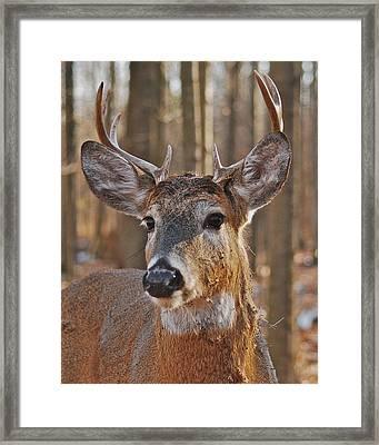 Whitetail Buck_1111 Framed Print
