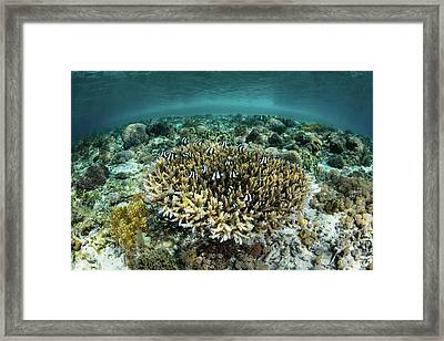 Whitetail Damselfish Swim Over A Coral Framed Print