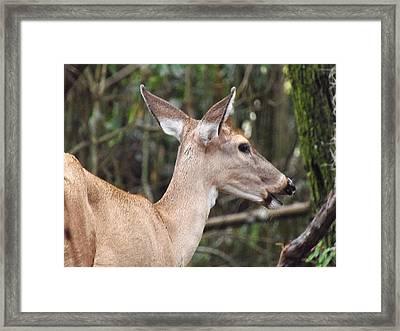 Whitetail Deer 038 Framed Print by Chris Mercer