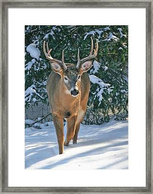Whitetail Deer Eight Point Framed Print