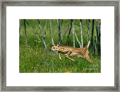 Whitetail Deer Fawn Framed Print