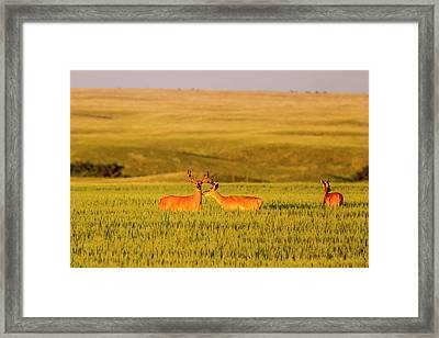Whitetail Deer In Wheat Field Framed Print by Chuck Haney