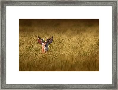 Whitetail Deer In Wheat Field Framed Print