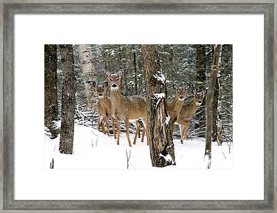 Whitetail Deer Odocoileus Virginianus Framed Print by Gregory K Scott