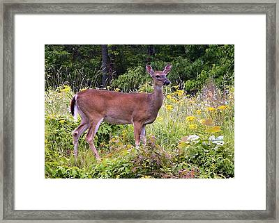 Whitetail Deer Framed Print