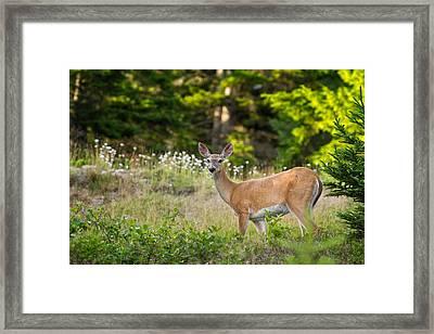 Whitetail Doe Cadillac Mountain Acadia Np Framed Print by Jeff Sinon
