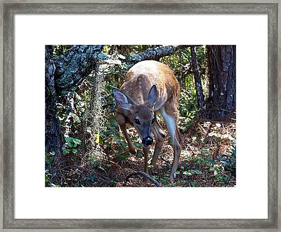 Whitetail Fawn 008 Framed Print by Chris Mercer