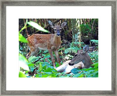 Whitetail Fawn 013 Framed Print by Chris Mercer