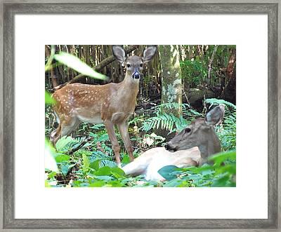 Whitetail Fawn 014 Framed Print by Chris Mercer