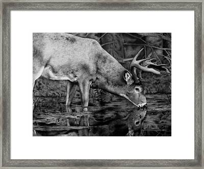 Whitetail Reflection Framed Print