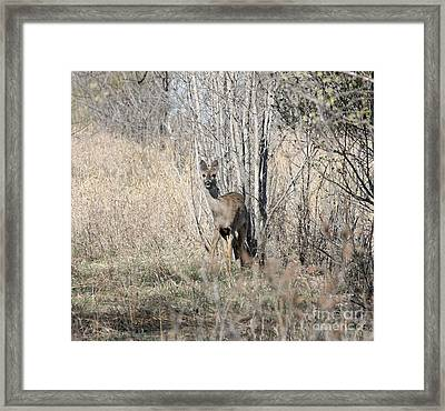 Whitetail Undercover Framed Print by Lori Tordsen