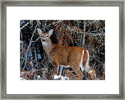 Whitetail Wonder Framed Print by Annie Pflueger