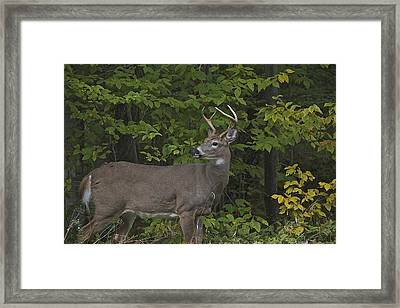 Whitetall Deer Framed Print