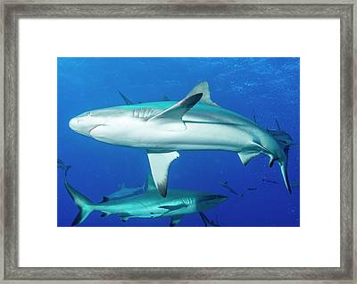 Whitetip Reef Sharks Over A Reef Framed Print by Louise Murray
