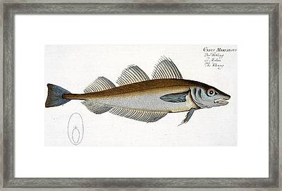 Whiting Framed Print by Andreas Ludwig Kruger