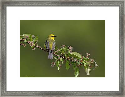 Who Dat Blue Wing Framed Print by Daniel Behm