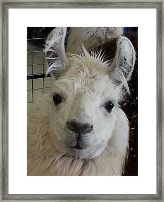Framed Print featuring the photograph Who Me Llama by Caryl J Bohn