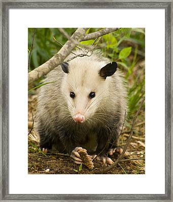 Who Says Possums Are Ugly Framed Print