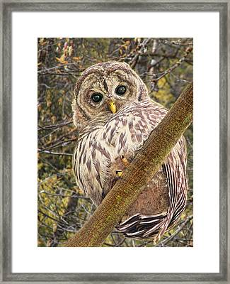 Who Who Are You Barred Owlet Framed Print by Jennie Marie Schell