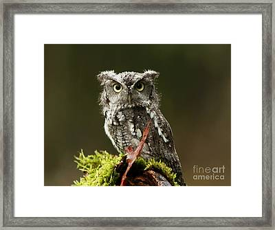 Whooo Goes There... Eastern Screech Owl  Framed Print
