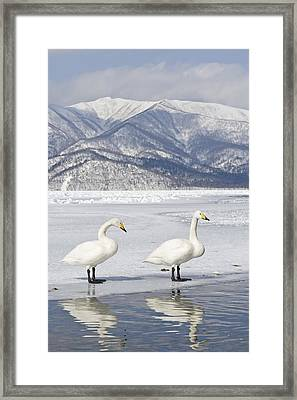 Whooper Swan On Frozen Lake Hokkaido Framed Print by Dickie Duckett