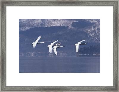 Whooper Swans Flying Hokkaido Japan Framed Print by Konrad Wothe