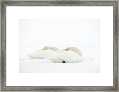 Whooper Swans Resting On Snow Framed Print by Dr P. Marazzi