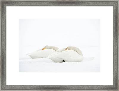 Whooper Swans Resting On Snow Framed Print