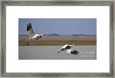 Whooping Crane Pair Framed Print by Richard Mason