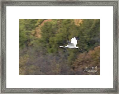 Whooping Crane Framed Print by Steven Ralser