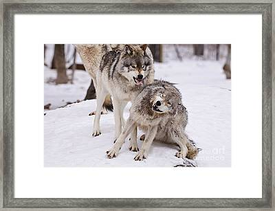 Framed Print featuring the photograph Who's The Boss by Wolves Only