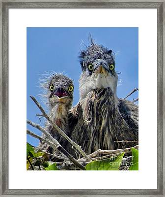 Wide Eyed Baby Herons Framed Print by Jennie Breeze