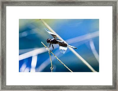 Widow Skimmer Framed Print