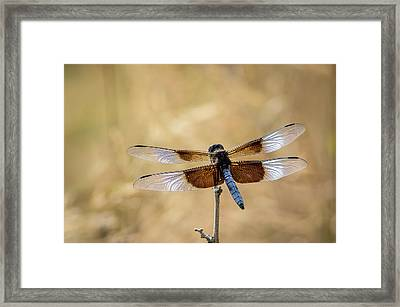 Widow Skimmer Dragonfly Perching Framed Print by Rob Sheppard