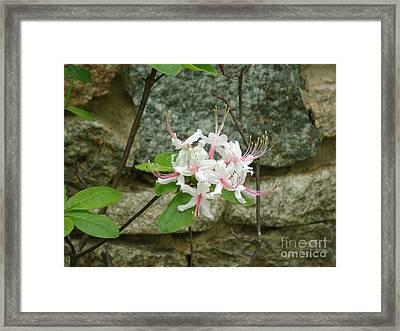 Wild Azalea Framed Print by Katie Spicuzza