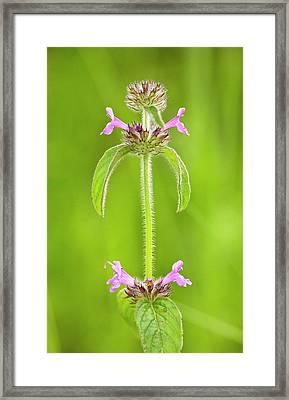Wild Basil (clinopodium Vulgare) Flowers Framed Print