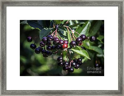 Wild Berries Framed Print