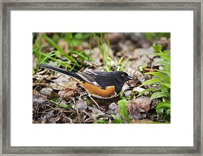 Wild Birds - Eastern Towhee Framed Print by Christina Rollo