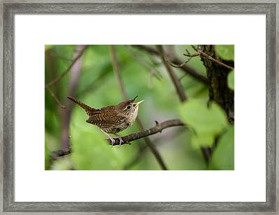 Wild Birds - House Wren Framed Print by Christina Rollo