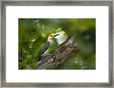 Red Bellied Woodpecker Framed Print by Christina Rollo