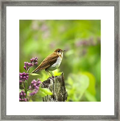Wild Birds - Veery Square Framed Print by Christina Rollo