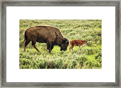 Wild Bison Cow And Calf Framed Print by Jeff R Clow