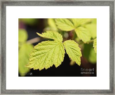 Wild Black Raspberry Leaves Framed Print by J McCombie