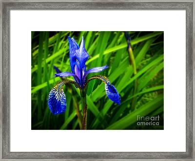 Wild Blue Iris Framed Print