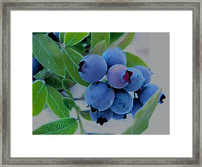 Wild  Blueberries Framed Print by Shirley Sirois