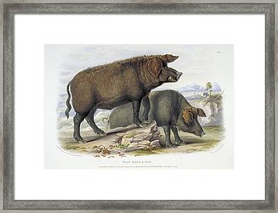 Wild Boar, 19th Century Artwork Framed Print by Science Photo Library