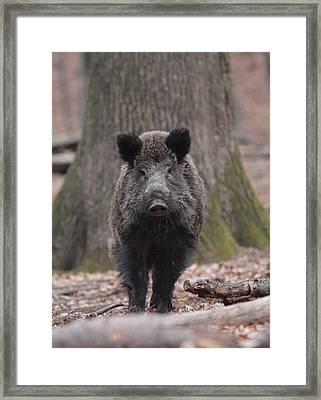 Wild Boar Framed Print by Dragomir Felix-bogdan